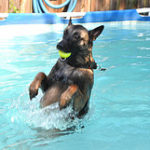 Belgian Malinois – Facts You Must Know Before Adopting Belgian Malinois