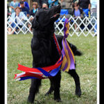 Activities a Flat Coated Retriever Enjoys