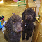 Get the Best Toy Poodle Puppies for Sale in your Area