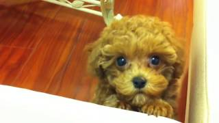 Toy Poodle Puppy Crying Like A Baby!