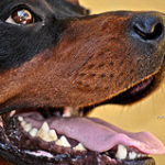 What Is A German Shepherd Rottweiler Mix?
