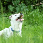 Latest Labrador Retriever News