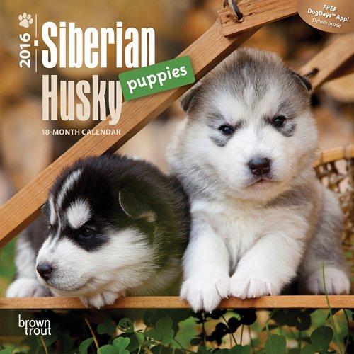 Husky Dog Video: Siberian Husky Dog Eats Marijuana Edible