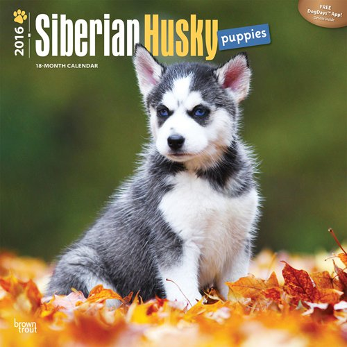 Husky Dog Video: Siberian Husky's  Snow dog {2011}