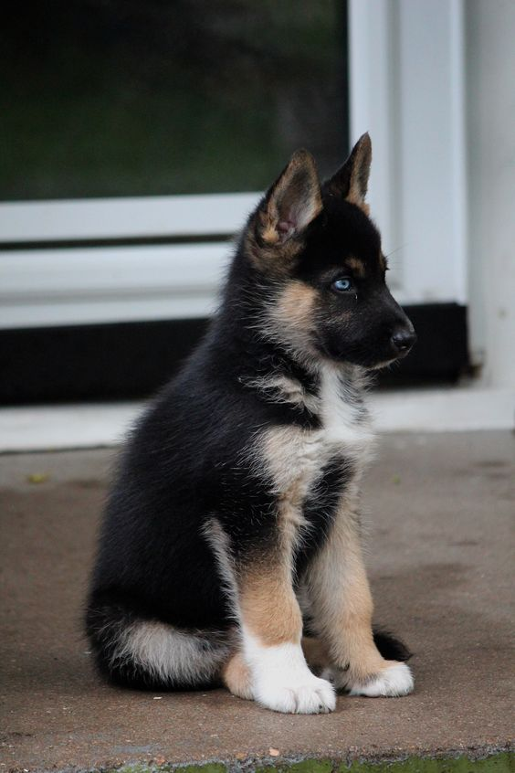 Gerberian Shepsky Pup Cross between a German Shepherd and a Husky